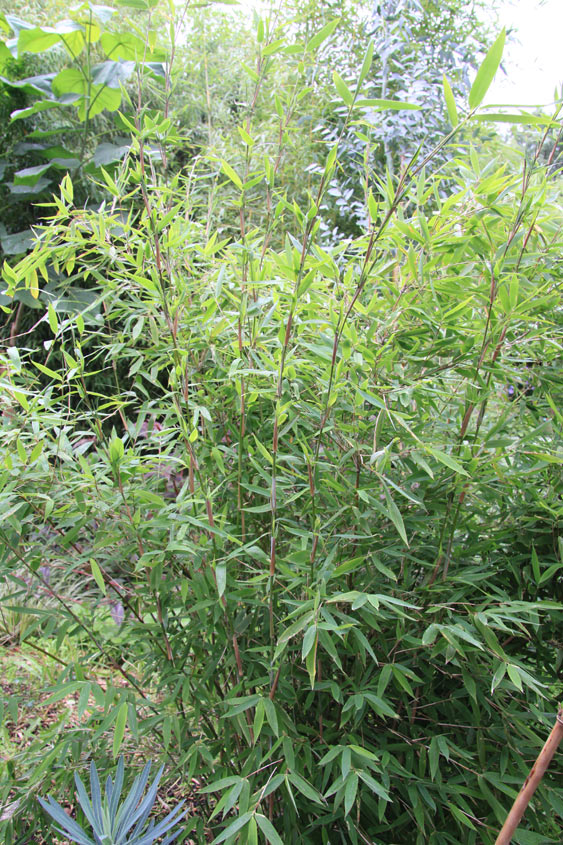 bambus pflanzenshop fargesia nitida 39 winter joy 39 kaufen. Black Bedroom Furniture Sets. Home Design Ideas