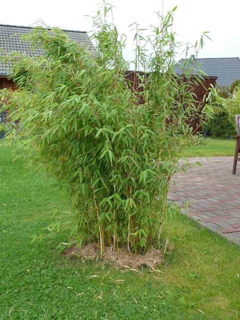 Bambus pflanzenshop fargesia 39 evergreen 39 bambus des for Evergreen pflanzen