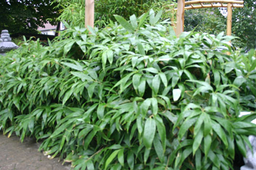 bambus pflanzenshop sasa kurilensis kaufen. Black Bedroom Furniture Sets. Home Design Ideas